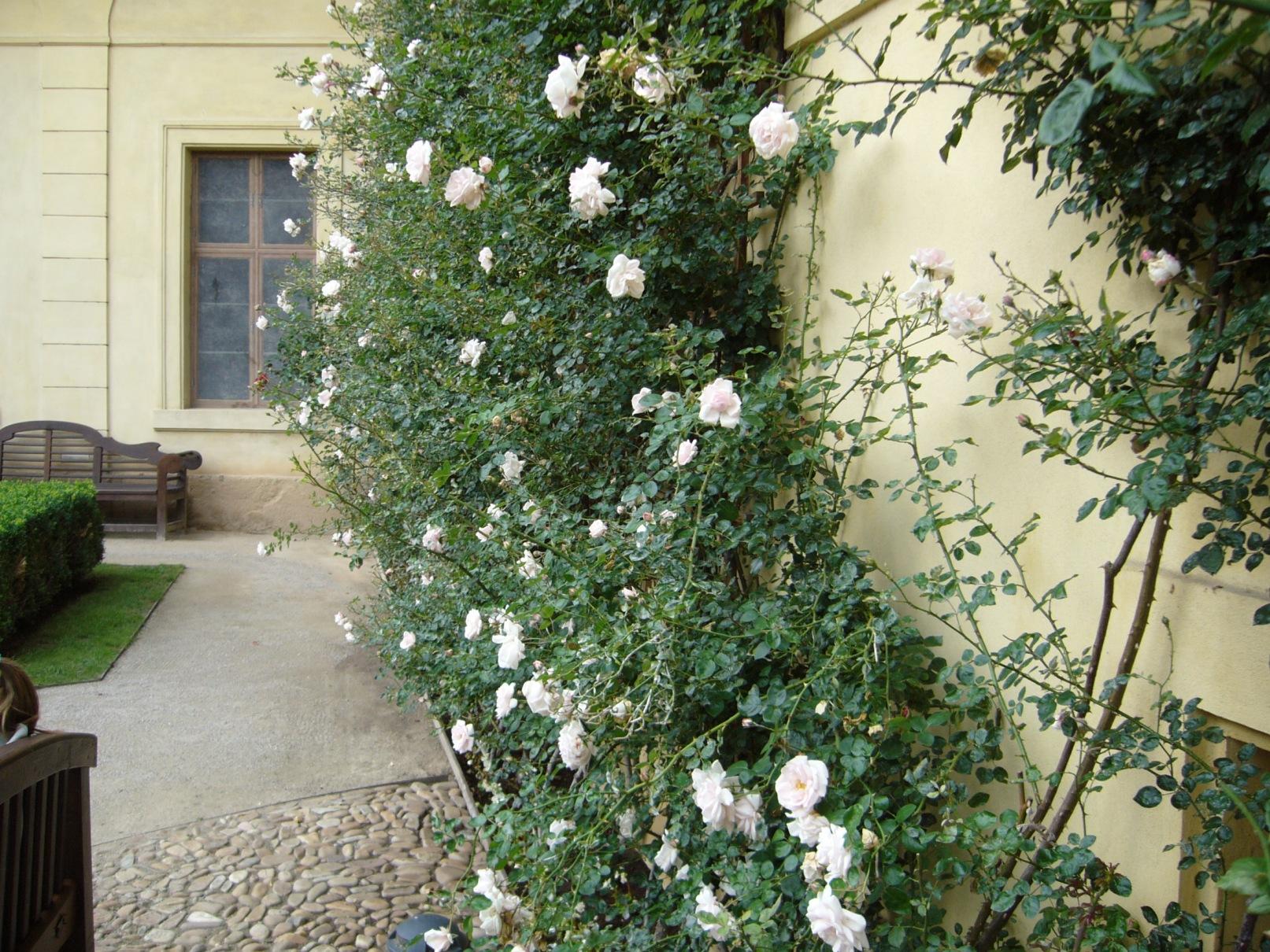 Vrtbovská zahrada - popínavé růže